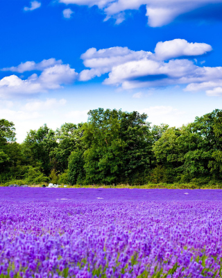 Purple lavender field - Obrázkek zdarma pro Nokia Asha 309