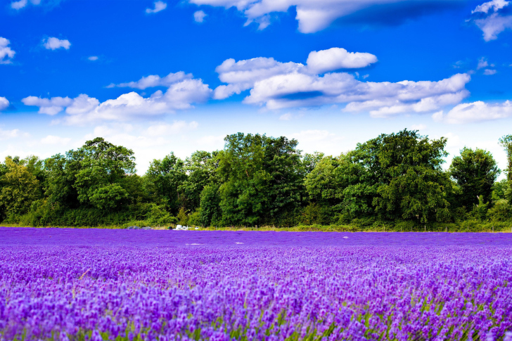 Purple lavender field wallpaper