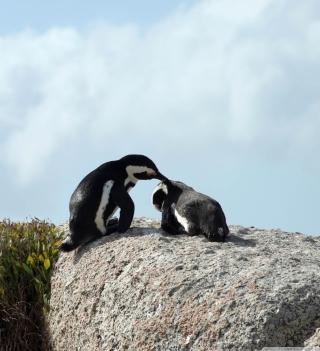 Penguins - Obrázkek zdarma pro 320x320
