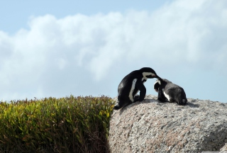 Penguins - Obrázkek zdarma pro Samsung Galaxy S II 4G