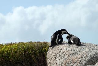 Penguins - Obrázkek zdarma pro Samsung T879 Galaxy Note