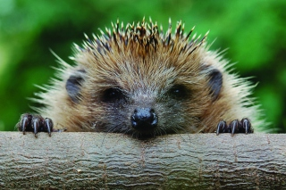 Hedgehog Close Up Wallpaper for Android, iPhone and iPad