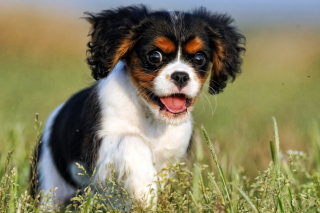 Cavalier King Charles Spaniel Wallpaper for Android, iPhone and iPad