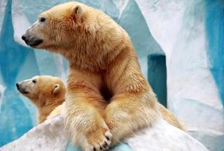 Картинка Polar Bears для телефона