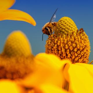 Honey bee - Obrázkek zdarma pro 1024x1024