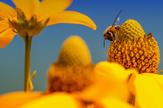Honey bee Picture for Android, iPhone and iPad
