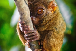Philippine Tarsier Wallpaper for Android, iPhone and iPad