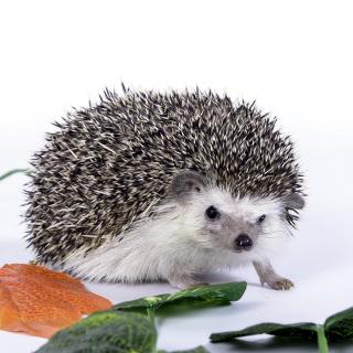 Hedgehog - Obrázkek zdarma pro 320x320