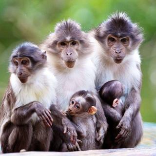 Funny Monkeys With Their Babies - Obrázkek zdarma pro 128x128