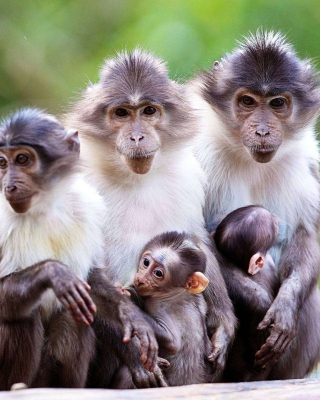 Funny Monkeys With Their Babies - Obrázkek zdarma pro iPhone 4
