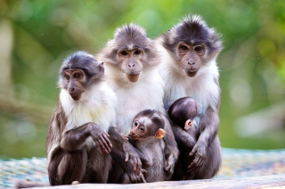 Funny Monkeys With Their Babies - Obrázkek zdarma pro Samsung I9080 Galaxy Grand