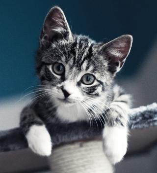 Cute Grey Kitten - Obrázkek zdarma pro iPad mini