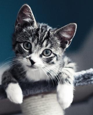 Cute Grey Kitten - Obrázkek zdarma pro Nokia C-5 5MP