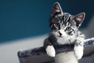 Cute Grey Kitten - Obrázkek zdarma pro 2880x1920