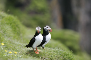 Free Couple Of Puffins Picture for Android, iPhone and iPad