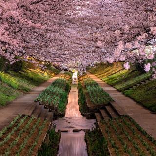Wisteria Flower Tunnel in Japan - Obrázkek zdarma pro 128x128