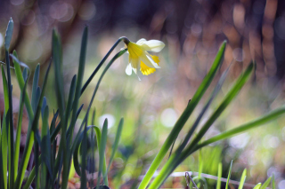 Narcissus Flower Picture for Android, iPhone and iPad