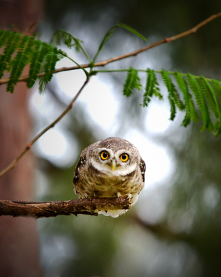 Cute And Funny Little Owl With Big Eyes - Obrázkek zdarma pro 240x320