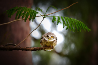 Cute And Funny Little Owl With Big Eyes - Obrázkek zdarma pro 1366x768
