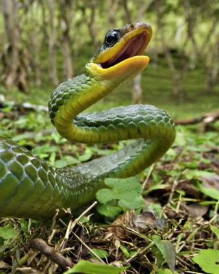 Green Snake - Obrázkek zdarma pro Nokia C3-01
