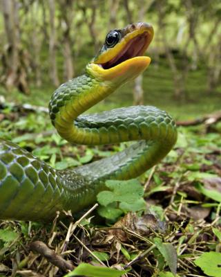 Green Snake - Obrázkek zdarma pro 320x480