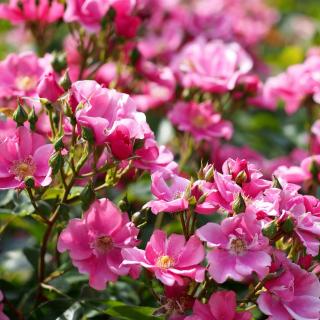 Rose bush flowers in garden - Obrázkek zdarma pro iPad