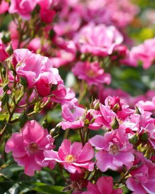 Rose bush flowers in garden - Obrázkek zdarma pro Nokia Asha 305