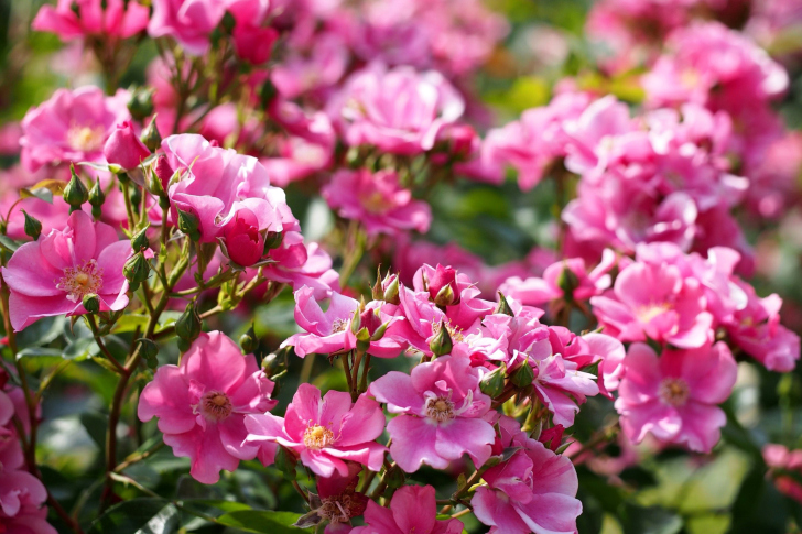 Rose bush flowers in garden wallpaper