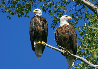 Free Bald Eagle Picture for Android, iPhone and iPad