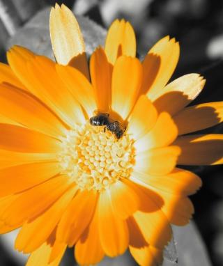 Golden Flower - Obrázkek zdarma pro Nokia C5-03
