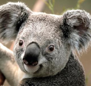 Koala by J. R. A. K. - Obrázkek zdarma pro 208x208