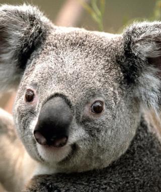 Koala by J. R. A. K. - Obrázkek zdarma pro 360x480