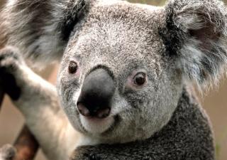 Koala by J. R. A. K. - Obrázkek zdarma pro 220x176