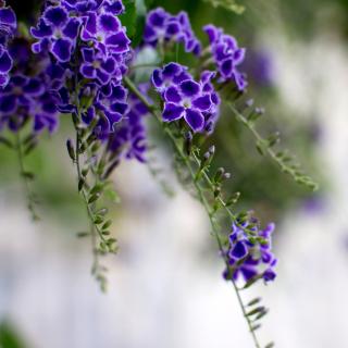 Durante Flowers - Obrázkek zdarma pro iPad mini