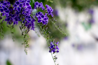 Durante Flowers - Obrázkek zdarma pro Samsung Galaxy Ace 4
