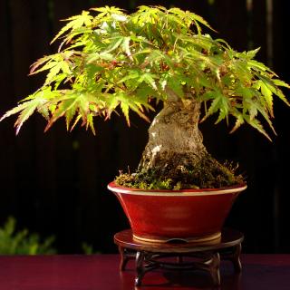 Bonsai Tree - Obrázkek zdarma pro iPad