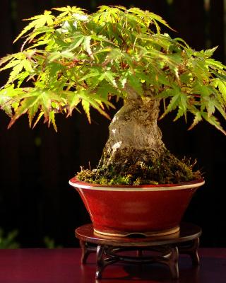Bonsai Tree - Obrázkek zdarma pro iPhone 3G
