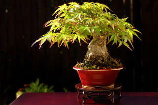 Free Bonsai Tree Picture for Android, iPhone and iPad