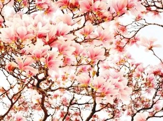 Pink Spring Flowers Background for Android, iPhone and iPad