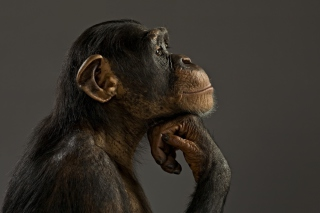 Chimpanzee Modeling - Obrázkek zdarma pro Nokia XL