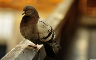 Free Fat Dove Picture for Android, iPhone and iPad