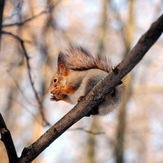 Squirrel with nut - Obrázkek zdarma pro 320x320