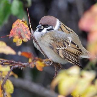 Sparrow - Obrázkek zdarma pro 128x128