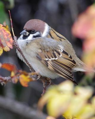 Sparrow - Obrázkek zdarma pro 176x220