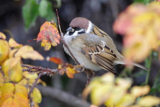 Free Sparrow Picture for Android, iPhone and iPad