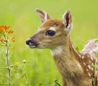 Young Deer - Obrázkek zdarma pro 320x320