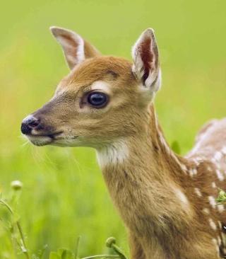 Young Deer - Obrázkek zdarma pro 640x960