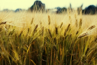 Golden Wheat Wallpaper for Android, iPhone and iPad