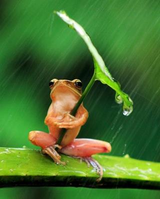 Funny Frog Hiding From Rain - Obrázkek zdarma pro Nokia Asha 203