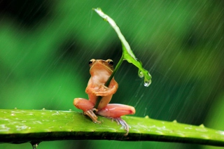 Funny Frog Hiding From Rain Wallpaper for Android, iPhone and iPad